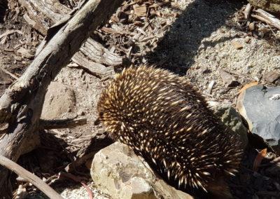 Echidna at wildlife park