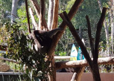 Koala at healesville wildlife park
