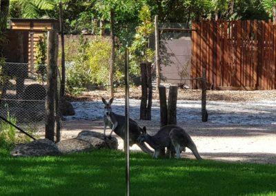 Kangaroo at Healesville Sanctuary