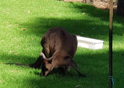 Kangaroo eating grass at Sanctuary