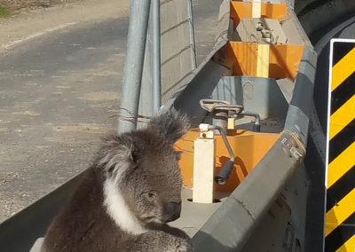 Koala on the road Great Ocean road