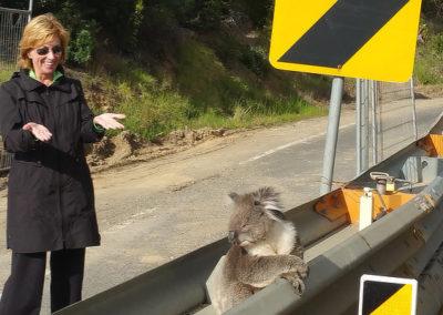 Customer admiring Koala on the Great Ocean Road