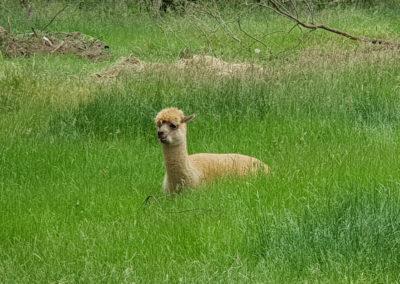 Aplaca in the grass at Lavandula Farm