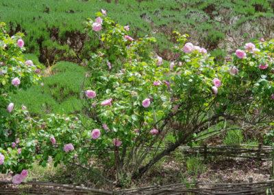 Roses at Lavandula Farm