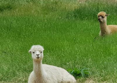 Alpaca at Lavandula Farm Daylesford