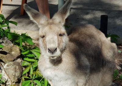 Kangaroo at Hanging rock