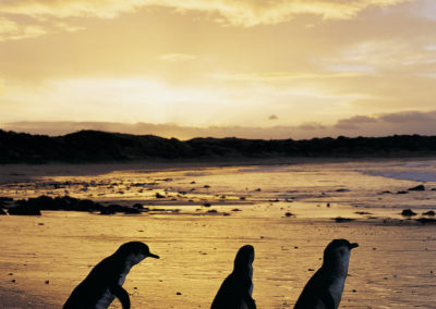 Sunset at penguin Parade