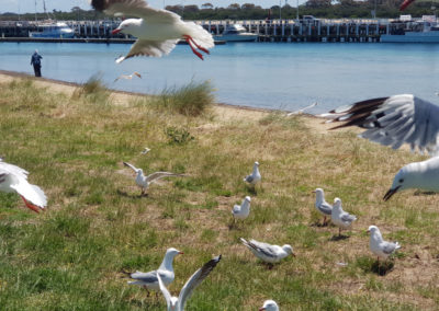 Seagulls at Sorrento