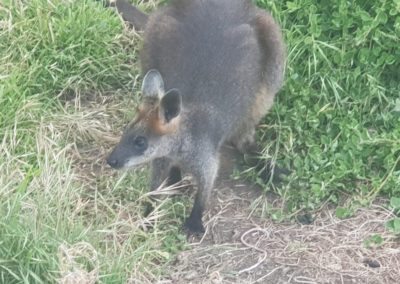 Wallaby at Phillip Island Wildlife Park