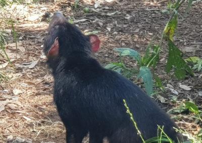 Tassie Devil phillip Island wildlife park