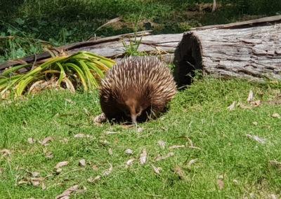 Echindna wildlife park Phillip Island