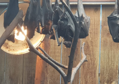 Flying foxes at Phillip Island wildlife park