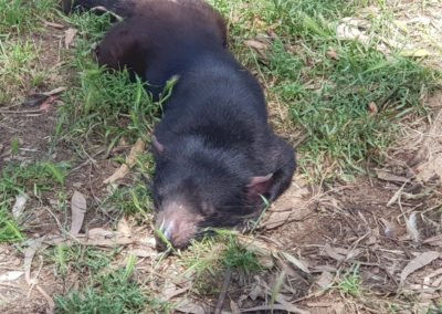 Tasmanian devil Phillip Island wildlife park