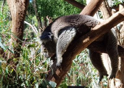 Koala having a sleep in the hot weather