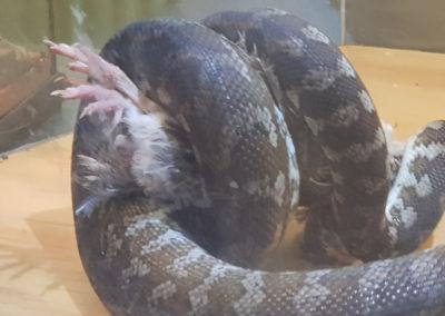 Snake having its feed
