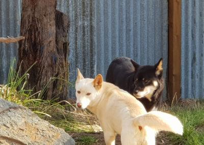 Dingo at Phillip Island wildlife park