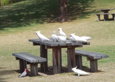 Parrots on table in Lorne