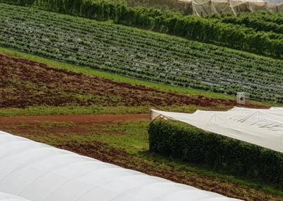 Strawberries fields
