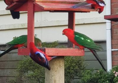 Parrots at Lavers Hill