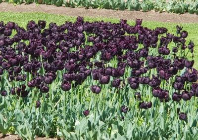 Black Tulips in Bendigo