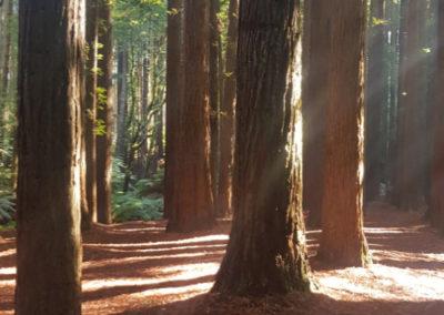 Plenty of Redwood Trees