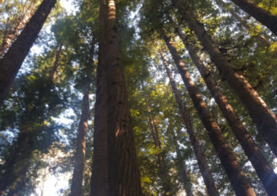 Redwood trees are very high