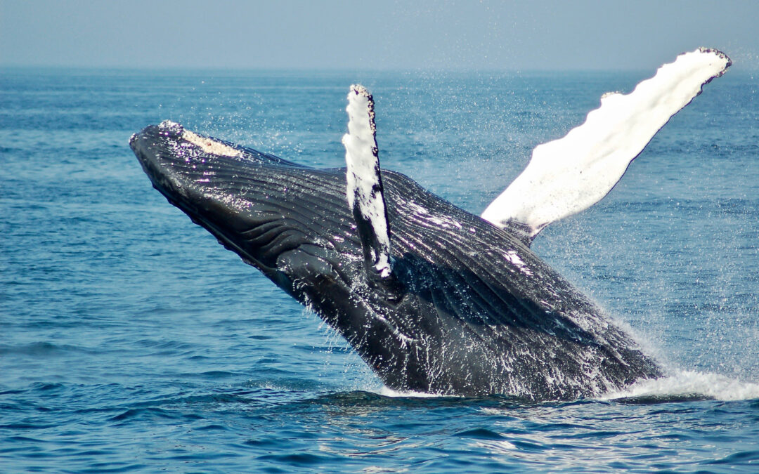 Where to see whales in Victoria