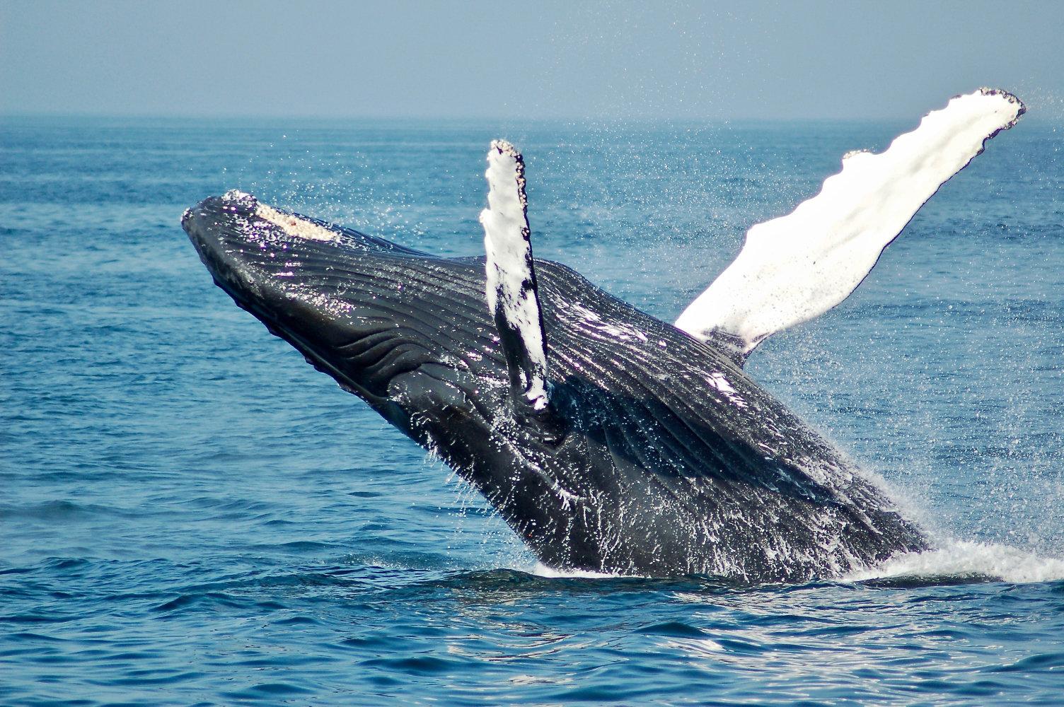 Whales Along Victoria coastline