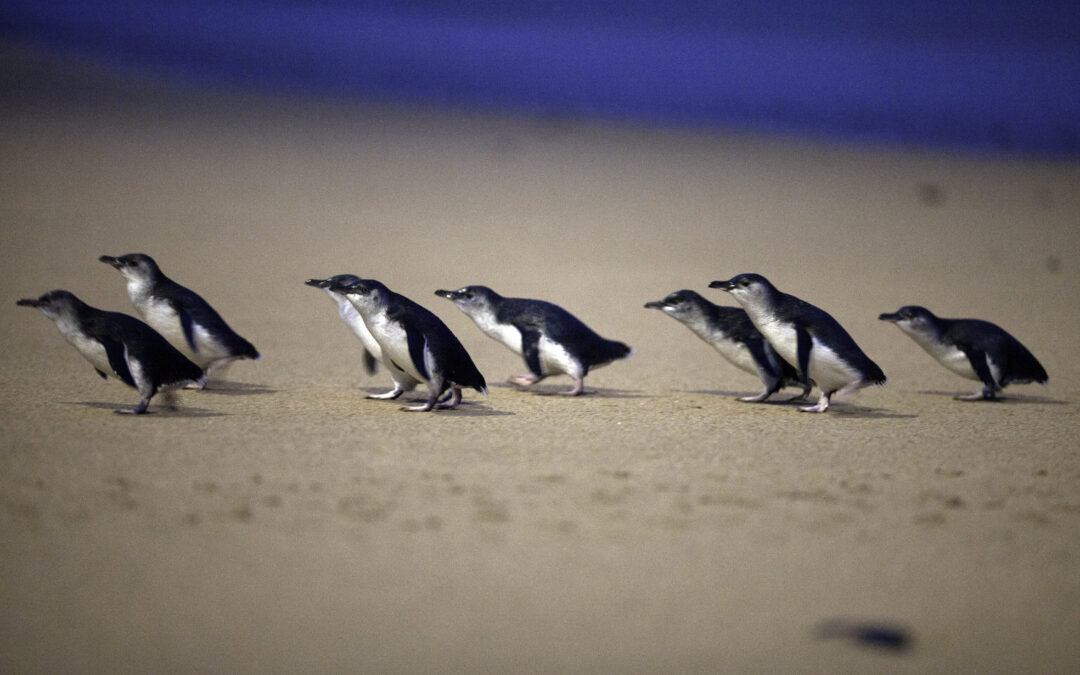 The Little Penguins of Phillip Island
